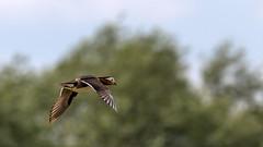 Wilde Mandarinente (Mandarin Duck) (oliver_hb) Tags: mandarinente ente vogel neuenkirchen neuenkirchenerteiche