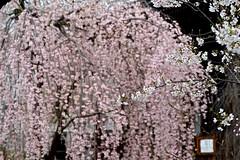 Sakura Shower (tez-guitar) Tags: cherryblossom cherry blossoms bloom pentax pentaxart petal spring flower sakura kyoto temple tamron macro