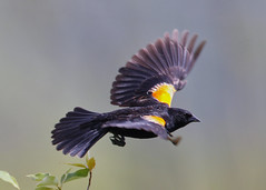 _53F6782 Red-winged Blackbird (~ Michaela Sagatova ~) Tags: redwingedblackbird michaelasagatova
