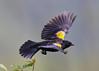 _53F6782 Red-winged Blackbird (~ Michaela Sagatova ~) Tags: redwingedblackbird michaelasagatova