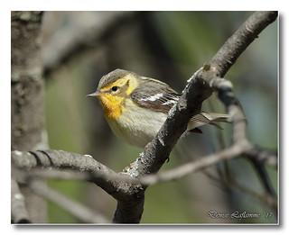 103A5735-DL   Paruline à gorge orangée (femelle) / Blackburnian Warbler (female)