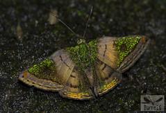 Castalia Metalmark - Caria castalia ( BlezSP) Tags: cariacastalia peru madrededios faunaforever fauna forever