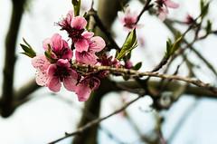 Pfirsichblüte (Karabelso) Tags: flower macro red pink trees blossom bloom wood blume makro blüte gehölz baum rot panasonic lumix dx7