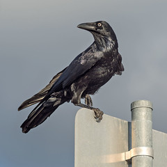 No Standing? (OzzRod) Tags: pentax k1 tair11a135mmf28 таир11а bird raven crow australianraven square honeysuckle newcastle