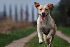 Merle running (clé manuel) Tags: labrador mix dog nature action shot cle manuel fotograf erlangen nürnberg baierdorf hundefotograf animals hunde bokeh sony alpha tamron analogue analoges objektiv an a6000 adaptiert 70 210 19 ah happy