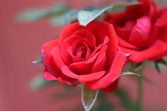 Rosa (josemar_brytto) Tags: rosa flor rose brasil canon braisl natureza brazil beautiful beleza planta