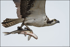 Osprey w/ catch (Nikographer [Jon]) Tags: osprey va fish nikon 20170325d500063798 d500 600mmf4