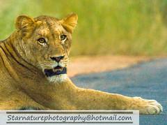 _DJA3652 copy (naturephotographywildlife) Tags: kruger wildlife scenery animals birdlife a99ii africa park lioness