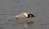 Brown-headed gull_Chroicocephalus brunnicephalus_Bhandup_April 2017 5 (Shubhada Nikharge) Tags: brownheadedgull chroicocephalusbrunnicephalus bird bhanduppumpingstation bhandup