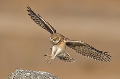 Burrowing owl landing (knobby6) Tags: burrowingowl littleowl raptor birdofprey california bif