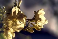 _DSC4873 (JuanCarlossony) Tags: flower planta amarillo yellow plant sony 50mm f18 bokeh