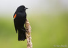 Red-winged Blackbird - Agelaius phoeniceus (Aphelocoma_) Tags: 2017 agelaius agelaiusphoeniceus blackbird canonef300mmf28lisiiusmlens canoneos5dmarkiii canonextenderef14xii connecticut icterid icteridae image litchfield litchfieldcounty littlepond may nature passeriformes photo photograph picture redwingedblackbird unitedstates whitememorial whitememorialfoundation wildlife animal bird male spring