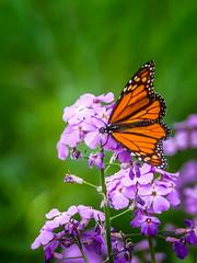 Passin' Through... (Portraying Life, LLC) Tags: da3004 hd14tc k1 butterfly closecrop handheld nativelighting michigan unitedstates