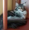 Beautiful Maine coon cat (romeosilverpersian) Tags: mainecoon cats catbreed cat tabbycats browntabby longhaircats baloo gatto gatti pet animalidomestici