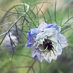 Love in a Mist (Tanjica Perovic) Tags: annual plant macro blue buttercup cottagegarden fernyfoliage spikyflowers paleblue