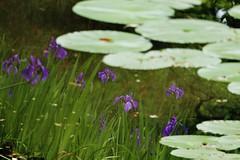 Purple Irises  - in another world / Kyoto Heian-jingu (maco-nonch★R) Tags: irises iris pond heianjingu kyoto 平安神宮 神苑 manual allmanual trickphotography trick magical 日本