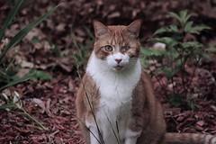 Edward Le Cyclope (PierreLeblanc) Tags: tabby short furry whiskers gato kitty 猫 cyclope cyclops one eye stripes striped orange