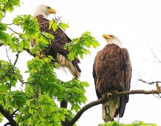 bald eagles at Decorah Fish Hatchery IA 854A8175