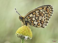 Encuentros íntimos con una top model (gatomotero) Tags: olympusomdem1 mzuiko60 olympusomd nature mariposa butterfly ambiente primavera tierrasdealiste aliste zamora alba flor