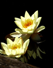 water lily (samirart) Tags: water lily waterlily reflection flower white explore emotion esthetic endless edit editing beautiful detail evening germany new up unstoppable fun outdoor sun summer light lights orange contrast colourful focus moment photo pretty photography art artistic structure sky shadow dark favourite flowers galerie lake landscape young captured close view nature macro macrodreams