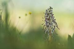 IMG_8510---hélios-40-2-85mm-à-f2---orchis-bouc-- web (Monique J.) Tags: rès belle prise