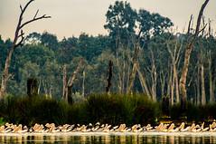 Flocking pelicans (AWLancaster) Tags: pelicans pelican sonyphotography sony sigma lightroom birding wildlife animals animalphotography landscape amazing wetlands sheppartonvictoria shepparton outdoors