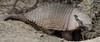 Chile (richard.mcmanus.) Tags: chile torresdelpaine southamerica wildlife armadillo animal mcmanus gettyimages ngc