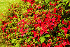 flowers flowers (Katrinitsa) Tags: parismay2017 paris france europe flowers flower nature landscape red passion love plant plants blossom bloom bokeh focus zoom macro nice perfect perfection beauty beautiful fresh green colors précatelan jardin garden gardens bois boisdeboulogne boulogne spring may happy happiness joy awesome amazing magic magical plenty full sunlight lights shadows vivid vibrant foliage leaves leaf detail art artistic forest outdoors scenery painting dreamer travel travelphotography dream canoneos600d daylight ef24mmf14lusm canon postcard imagination inspiration