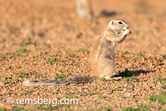 Cape ground squirrels in the Namib desert, located in Namibia, Africa. (Remsberg Photos) Tags: africa namibia world namib desert capegroundsquirrel squirrel xerusinauris habitat animal local heat fur solitaire nam