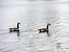 Canada goose couple (PeepeT) Tags: canadagoose brantacanadensis kanadanhanhi tohloppijärvi finland tampere