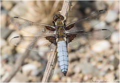 Broad-bodied Chaser Male
