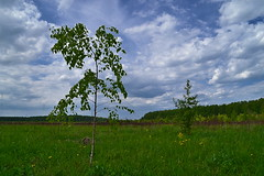 Saplings on the open space (МирославСтаменов) Tags: russia pushchino moscowregion field meadow birch sapling tree crown cloudscape scope sky spring