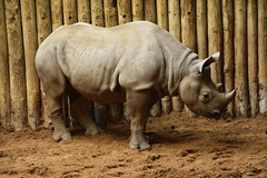 Chester Zoo (50) (rs1979) Tags: chesterzoo zoo chester blackrhino rhino
