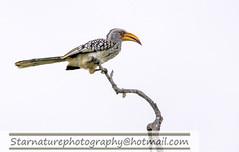 _DJA2855 copy (naturephotographywildlife) Tags: kruger a99ii wildlife animals nature park hornbill