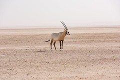 An Arabian oryx in Dubai Desert, United Arab Emirates (DavidGabis) Tags: animal antelope antelopespecies arab arabian arabianoryx arabianpeninsula arid background baqaralwash black blue body boosolah bovid bovidae bright brown buck captivebreedingprogram clear conservation desert dubai dunes east emirates endangered extinction eye face fauna fur gazelles gemsbok hair herbivore horn horns isolated landscape maha mammal mammals mediumsized middle nature one oryx oryxleucoryx pale park reintroduction ruminant safari sand sandstorm single species standing sunny tail tropical uae united walking white whiteoryx wild wilderness wildlife wudhaihi wwf yellow zoo