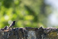 Black Redstart  -  Hausrotschwanz (CJH Natural) Tags: hausrotschwanz rotschwanz redstart blackredstart wall perch bokeh green natural nature outdoor outdoors animal wild wildlife bird vogel wing feather avian nikon d500 nikond500 telephoto 200500mm edvr nikkor christopherharrisorg