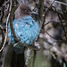 Steller's Jay (Pacific Coast Form)