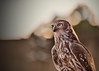 Owl (Bradley Rasmussen Photography) Tags: birds animals owl barkingowl nature