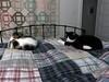 Jules and Parker (TagDragon) Tags: cat quilt bed parker jules