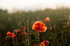 Mohnfee (mariokopatz) Tags: mohn summer flower m42 oldlens tessar50 tessar 50mmf28 50 28