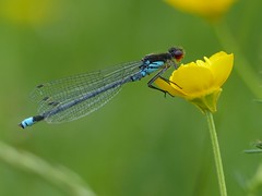 Red-eyed Damselfly (Male) (ukstormchaser (A.k.a The Bug Whisperer)) Tags: redeyed damselfly male damselflies fly flies animal animals wildlife milton keynes perched may buttercup flower flowers afternoon