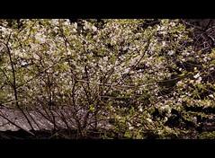 Nutsubidze Plato, Tbilisi, Georgia (Anna Gelashvili) Tags: nutsubidzeplato tbilisi georgia цветок дерево тбилиси tree blossom ხეები ხე ნუცუბიძისპლატო თბილისი საქართველო