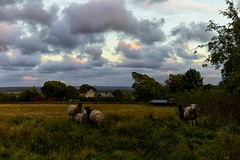 Beauteous country (keith_fannon) Tags: leica m9 50mm lingome väröbacka sweden sheep lamb rural evening light sky cloud