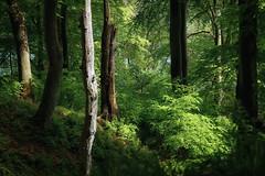 Light and shadow (Petra Runge) Tags: wald bäume grün buchenwald frühling rügen jasmund nationalpark spring wood forest green nature natur landschaft landscape