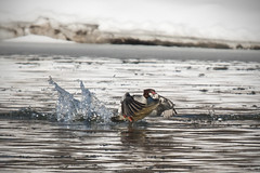 Take Off, Eh! (Knarr Gallery) Tags: merganser ontario duck birding bird nikon d300 regionofwaterloo kitchener canada winter ice snow water river grandriver tamronsp150600mmf563divcusd