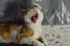 O_o (Luniul) Tags: cat redcat animal