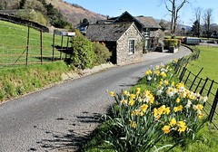 Country Road (Esther Spektor - Thanks for 12+millions views..) Tags: countryside road building architecture plant flowers daffodil tree fence spring greatbritain lakedistrict estherspektor canon country landscape