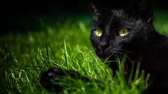 Black Cat (michaelgellert) Tags: cat black schwaz yellow garten nature animal tier