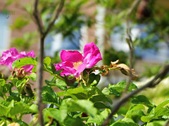 pink wild rose bush (Ola 竜) Tags: roses pink rose flowers wild plant bush brier briar prickly branches twigs green leaves wildrose dof focus closeup fz200 sunny floral composition windows blury background vivid colorful bokeh