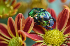 Natural brightness (ingcuevas) Tags: insect macro tiny green flower yellow red natural nature colors colorful petals spring sunday light bright beetle small colorsinourworld